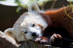 отдыхать красного цвета панды Стоковые Фотографии RF