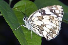 отдыхать листьев бабочки Стоковая Фотография