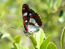 отдыхать листьев бабочки Стоковые Изображения RF
