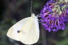 отдыхать листьев бабочки Стоковое Изображение