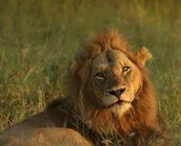 отдыхать льва Стоковые Изображения