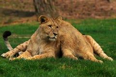отдыхать львов поля зеленый Стоковая Фотография