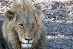 отдыхать мужчины льва Стоковое Фото