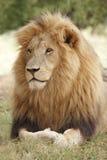 отдыхать мужчины льва Стоковые Фотографии RF