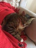 Отдыхать сногсшибательного пушистого мужского диабетического старшего кота модельный Стоковое Изображение