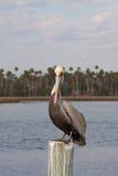 отдыхать столба пеликана Стоковые Фото