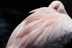 отдыхать фламингоа стоковая фотография