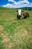 отдыхать холма коровы Стоковые Фото