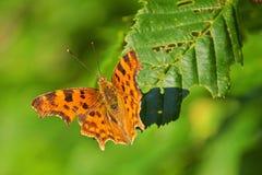 Отдыхать butterfy на лист в природе Стоковые Фотографии RF