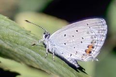 отдыхать lycaeides цветка бабочки Стоковое Изображение