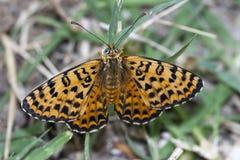 отдыхать melitaea didyma бабочки Стоковая Фотография