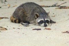 отдыхать raccoon Стоковое Изображение RF