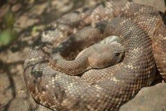 отдыхать rattlesnake с ромбовидным рисунком на спине западный Стоковая Фотография