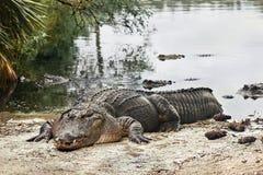 Отдыхая аллигатор Стоковое Фото
