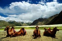 Отдыхая верблюды Стоковое Изображение