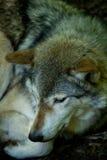 отдыхая волк Стоковое Изображение RF