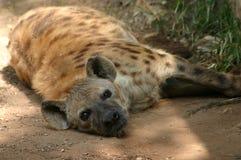 Отдыхая гиена Стоковое фото RF
