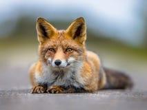 Отдыхая европейская красная лиса лежа на том основании Стоковое Изображение RF