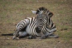 отдыхая зебра Стоковые Фото