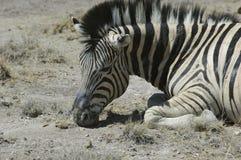 отдыхая зебра Стоковые Изображения
