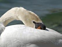 Отдыхая лебедь Стоковые Фотографии RF