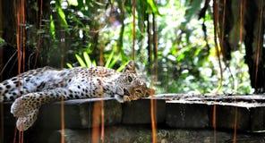 Отдыхая леопард стоковые фото