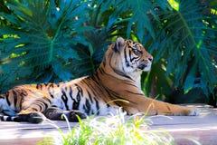 Отдыхая тигры в кустах стоковая фотография