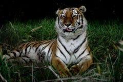 Отдыхая тигр Амура в траве Стоковые Фото