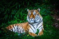 Отдыхая тигр Амура Стоковые Изображения