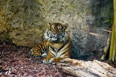 отдыхая тигр Стоковое Изображение