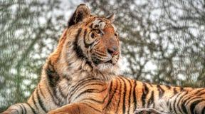 отдыхая тигр Стоковое Фото
