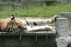 отдыхая тигр Стоковые Изображения