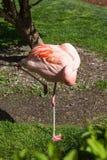 Отдыхая фламинго стоковая фотография rf