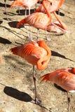 Отдыхая фламинго Стоковые Изображения