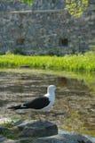 отдыхая чайка утеса Стоковые Изображения RF