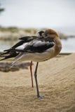 отдыхая чайки Стоковые Фото