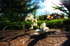 Отдыхая Daffodils стоковые изображения