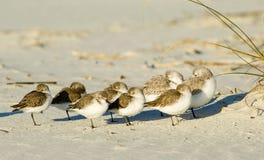 отдыхая sandpipers Стоковые Изображения RF