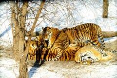 отдыхая siberian тигр Стоковое Изображение