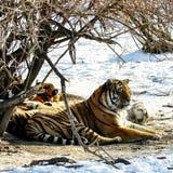 отдыхая siberian тигр Стоковые Изображения