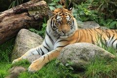 отдыхая siberian тигр Стоковая Фотография