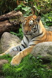 отдыхая siberian тигр Стоковое Фото