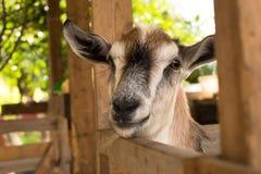 Отечественная коза Брайна в амбаре крытом Стоковые Изображения RF