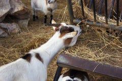 Отечественная коза в Франции Стоковое Изображение RF
