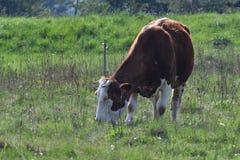 Отечественная корова пася на луге зеленого цвета выгона Стоковое фото RF
