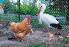 Отечественная курица, одичалая птица аиста связывает через fe решетки rabitsa стоковое фото rf