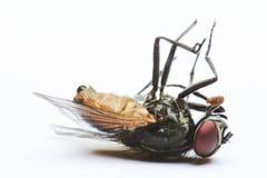 Отечественная мертвая муха Стоковые Фотографии RF