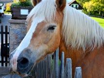 Отечественная лошадь в деревне (ферме) с белой гривой Стоковое Фото