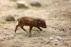 Отечественная свинья или вызванные свиньи, боров или свинья, p Стоковое Изображение