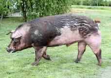 Отечественная свинья, который побежали через выгон лета Стоковое фото RF